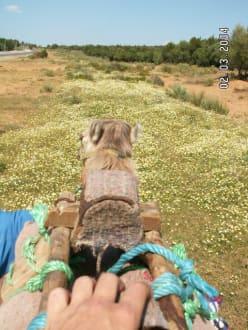 Kamelausritt in Tabarka - Kamelreiten Tabarka