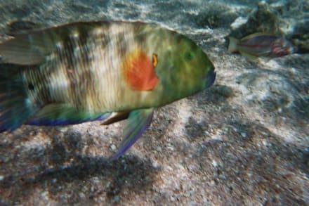 Mein Liebling der Besenschwanz-Lipfisch am Hausriff vom Hote - Tauchen Nabq Bay