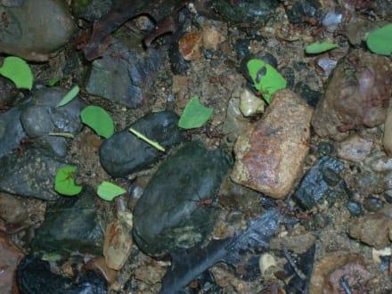 Blattschneideameisen bei der Arbeit - Nationalpark Carara