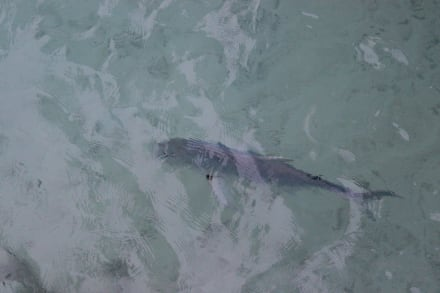 Makrele? - Velidhu Island Resort