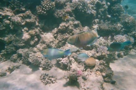 Drei Papageienfische und in der Mitte ein Weißbauch Riffbars - Tauchen Makadi Bay