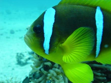 Clownsfisch - Tauchen Hurghada
