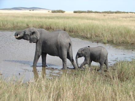 Elefantenkuh mit Jungem - Masai Mara Safari
