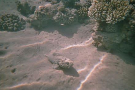 Vorsicht! Ein giftiger Steinfisch! - Tauchen Makadi Bay