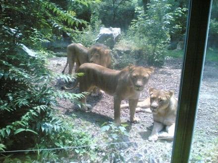 Löwenfamilie - Zoo Duisburg