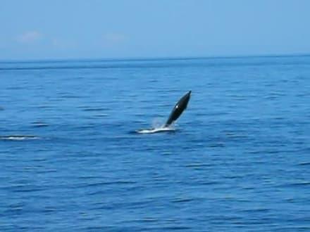 Delphine beim Schiffsausflug - Ausflüge Schifffahrt Bussard Tazacorte