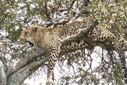 In der Hitze ist es auf dem Baum am kühlsten - Masai Mara Safari