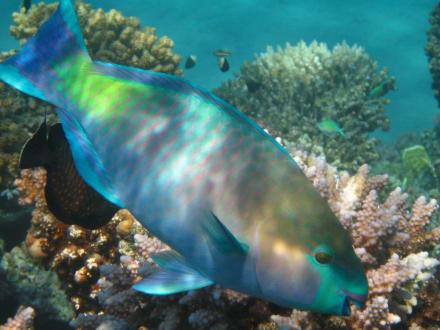 Papageienfisch - Schnorcheln Makadi Bay