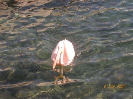 Pelikan im Hafen - Hafen Paphos
