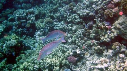 Blauschuppenschnapper - Schnorcheln Makadi Bay