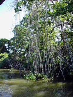 Mangroven - Bootstour Black River