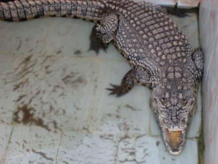 Krokodil im Nubischen Dorf. - Nubisches Dorf