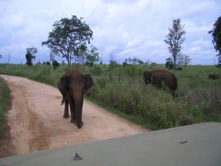 Elefanten - Nationalpark Udawalawe