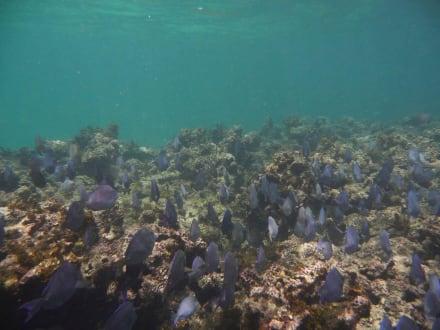 Schwarm Doktorfische - Katamaran Tour Tropical Storm Punta Cana