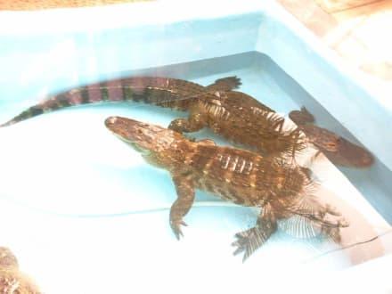 Krokodile im Oasis Park - Oasis Park