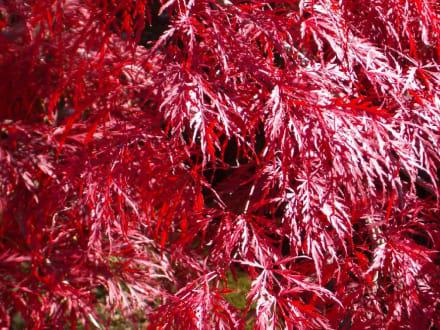 Blätter - Englischer Garten