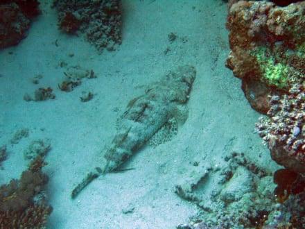 Krokodilfisch - Schnorcheln El Quseir