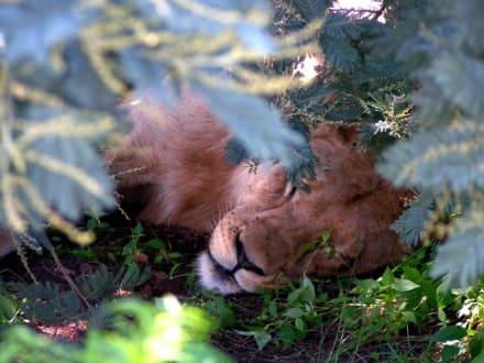 Löwe - Krüger Nationalpark