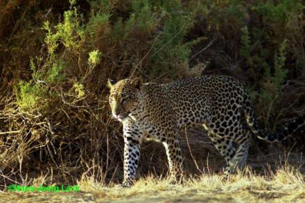 Leopard! - Lake Nakuru Nationalpark