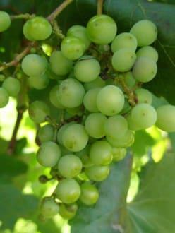 Neustifter Weinfelder - Weinrebe - Neustifter Weingärten