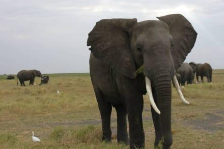 Elephants of Botswana - Safari Okavango Delta