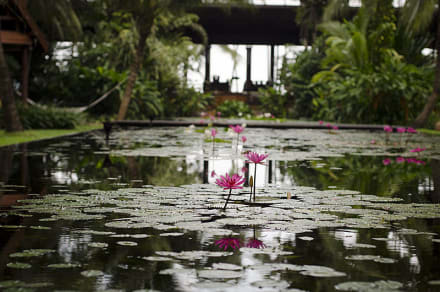 Lily Pond - Anantara Bophut Resort & Spa