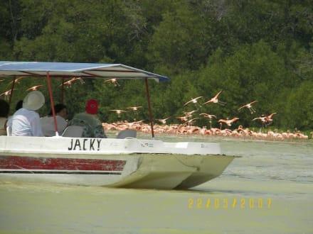 Flamingos von Celestum - Flamingos von Celestun