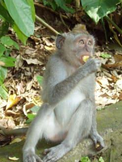 Affen im Affenwald - Affenwald Ubud