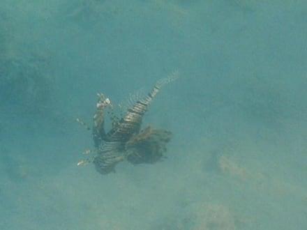 Rotfeuerfisch - Schnorcheln Hurghada