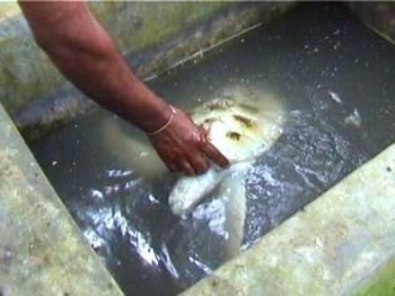 Sri Lanka - Schildkrötenfarm - Meeresschildkröten Aufzuchtstation Kosgoda