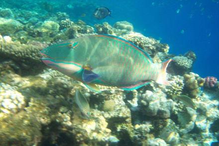Papageienfisch - Schnorcheln Sharm el Sheikh
