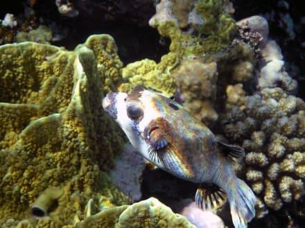 Maskenkugelfisch - Schnorcheln Makadi Bay