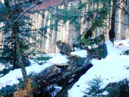 Wildkatze - Tierfreigehege