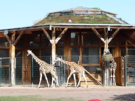 giraffen im magdeburger zoo bild zoologischer garten. Black Bedroom Furniture Sets. Home Design Ideas