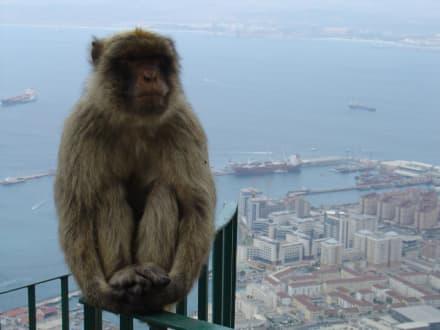 Berber Affe auf dem Fels von Gibraltar - Affenfelsen und St. Michael's Cave