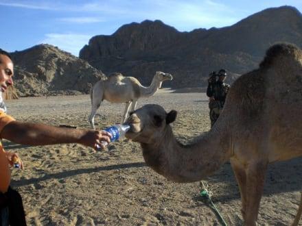 Camelfütterung - Jeep Safari Hurghada