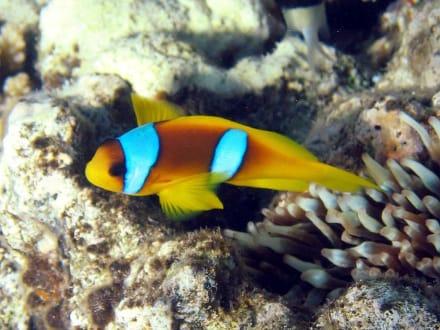 Clownfisch Nemo am Riff Ras Mohamed - Tauchen Sharm el Sheikh