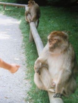 Affen lieben Popcorn - Affenberg