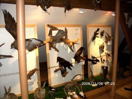 Greifvögel - Kleinmuseum Klösterle