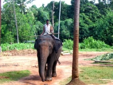 Sri Lanka Arbeitselefant im Waisenhaus - Elefantenwaisenhaus Pinnawela