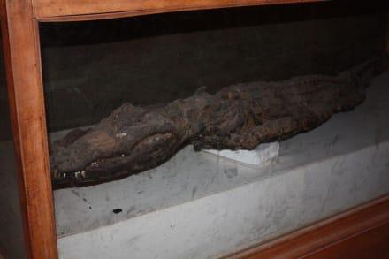Ein weiteres Krokodil - absolut ungefährlich - Doppeltempel Kom Ombo