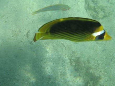 Tabak-Falterfisch - Akassia Diving Center (geschlossen)