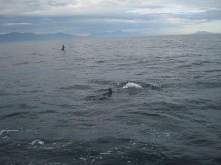 Springender Delphin - Delfin Tour Lovina