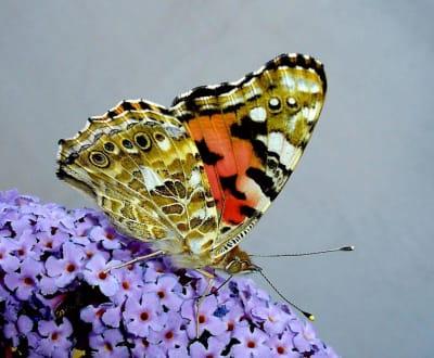 Schmetterlinge im Botanischen Garten - Botanische Gärten der Rheinischen Friedrich-Wilhelms-Universität Bonn