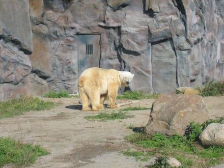 Eisbär - ZOOM Erlebniswelt Gelsenkirchen (Zoo)
