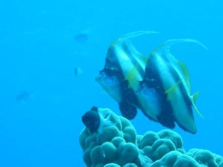 Wimpelfische Soma Bay - Tauchen & Schnorcheln Hausriff Soma Bay