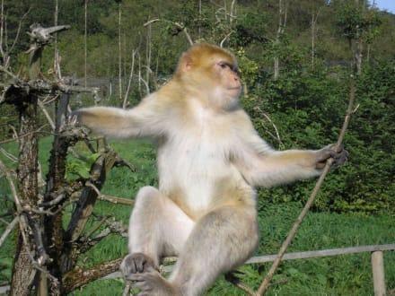 Berberaffe im Freigehege - Affen- und Vogelpark