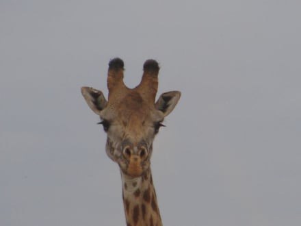 Giraffe - Masai Mara Safari