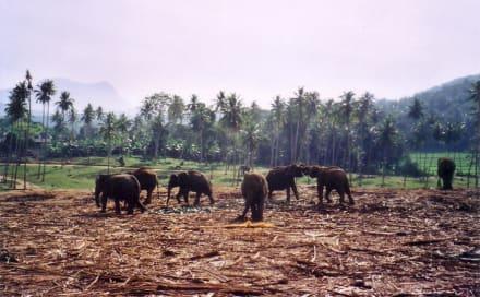 Elefantenwaisen, freies Feld - Elefantenwaisenhaus Pinnawela