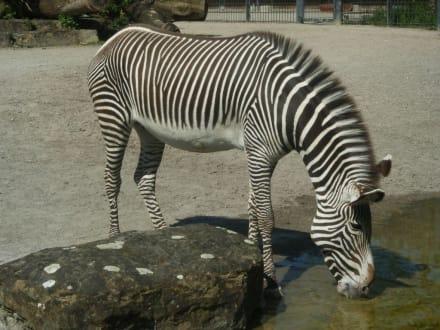 Durstiges Zebra - Wilhelma